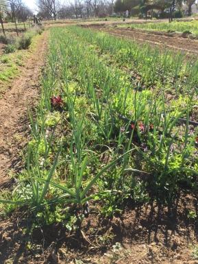 Fresh Green Garlic, Maya's Farm, The Farm at South Mountain