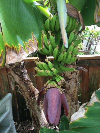 A-bananas-IMG_1856