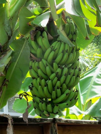 Bananas-bunch-CB-2012-0723