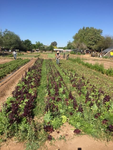 p-012-a-farm-farmer-crop-intro-csa-w7-img_6493
