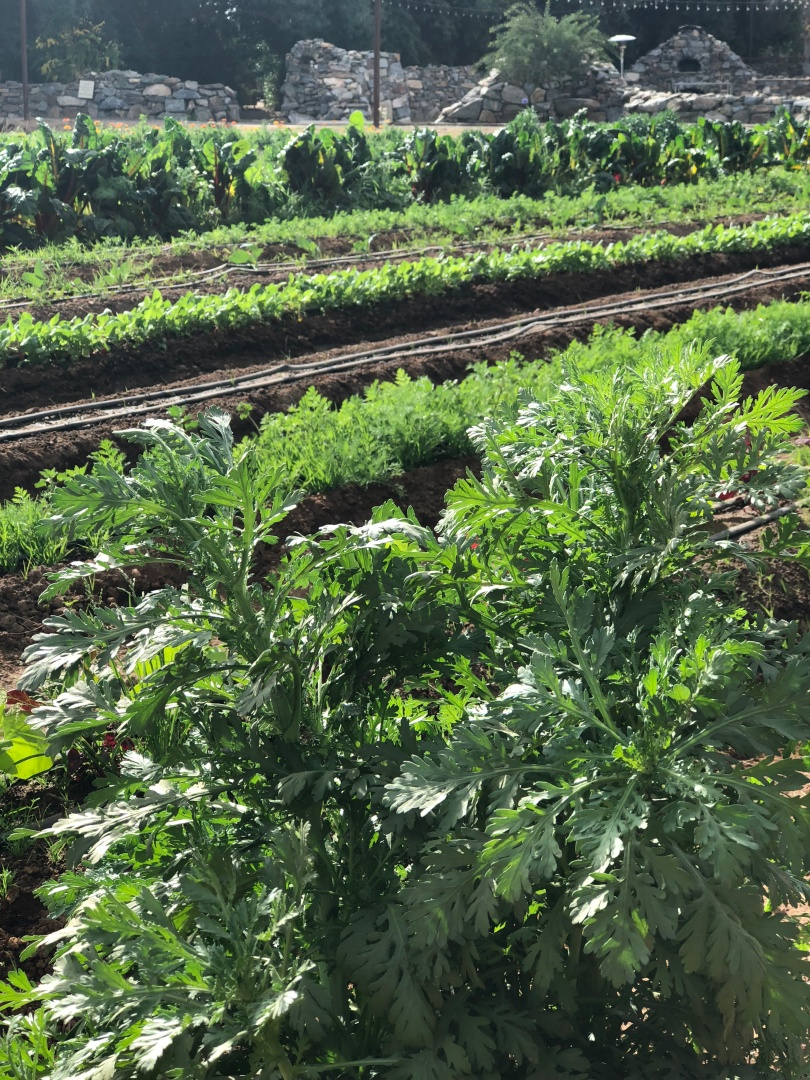 A-veg-greens-theFarm-IMG_4703