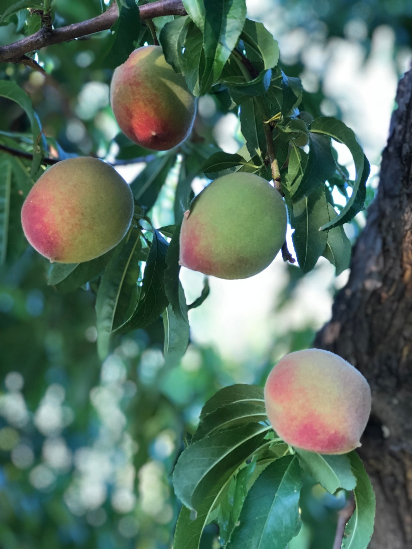 A-peach-agritopia-IMG_E5809